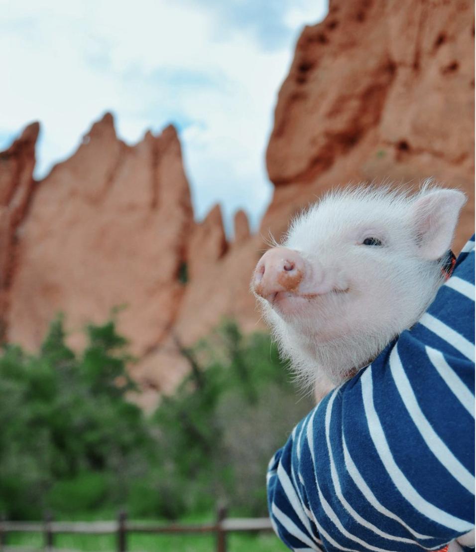 Oliver the traveling pig